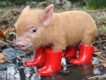 But at least pigs are cute, right???